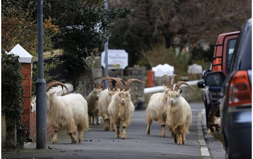 Living for the goats who are strolling around Wales right now. Not sure that's 2 metres there lads ...