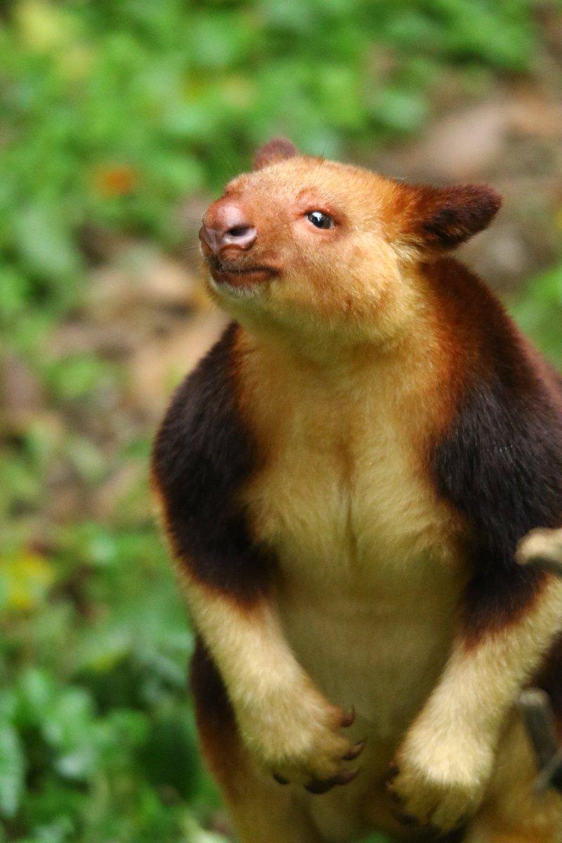 厚生労働省からラインが…返信をしてみたが自分の業種がないのが残念。お疲れさまでした。 #絶滅から動物を守る  #動物園写真家  #動物写真  #ズーラシア  #セスジキノボリカンガルーpic.twitter.com/G9ibSCeUqV
