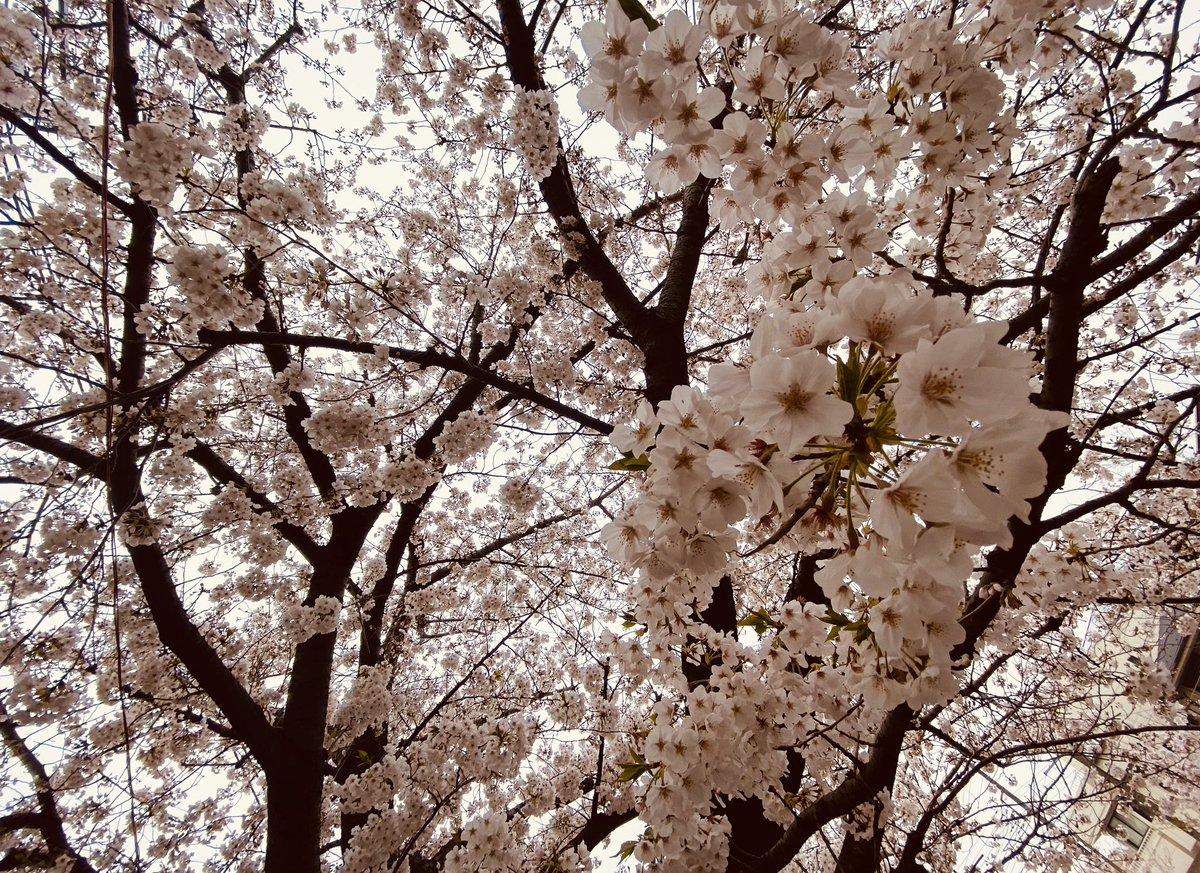 桜の木を見上げるとこんな感じ。すき。 #石神井川 #桜 #板橋 pic.twitter.com/9KbTNXHTik
