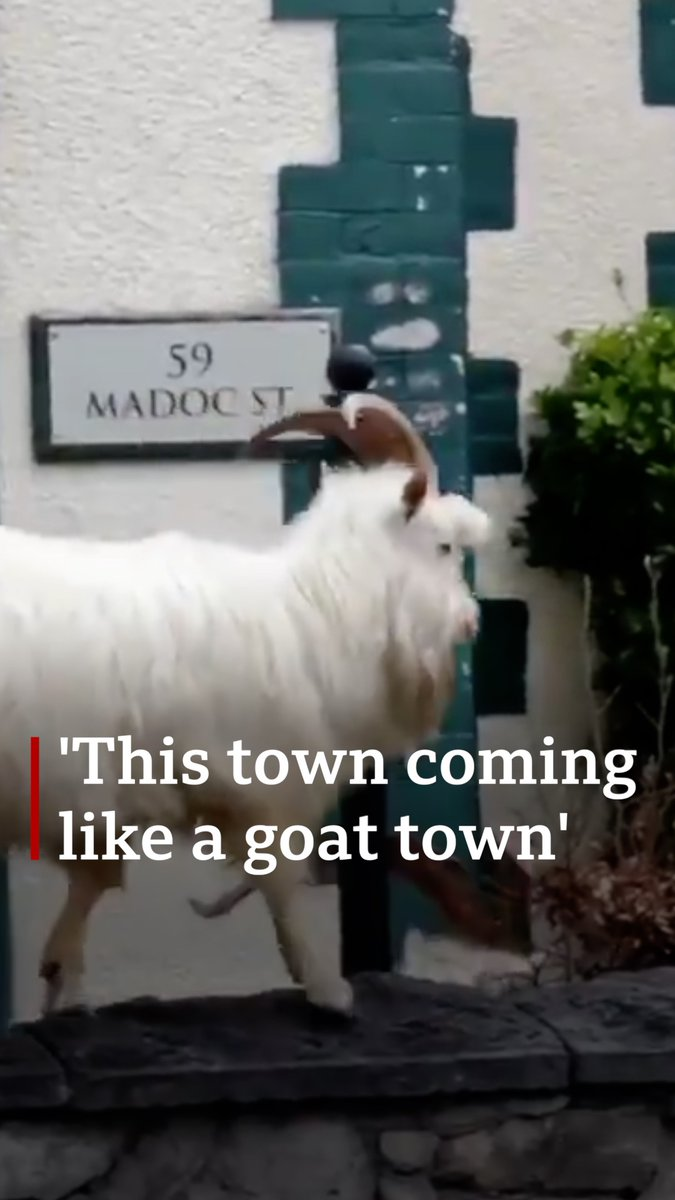 The #goats making the most of a seaside town's deserted streets