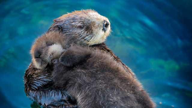 It's Sea Otter Awareness Week! These large, endangered weasels were once hunted for their dense fur which can have nearly one million hairs per square inch. Their role as predators of urchins makes them keystone species in kelp forests! #nature #dailyfacts #animales pic.twitter.com/xEBsOY9LdZ