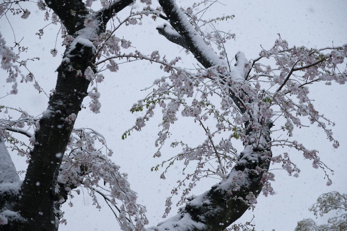 #photography #FUJIFILM #fujifilm_xseries #桜隠しpic.twitter.com/ElCaai72is