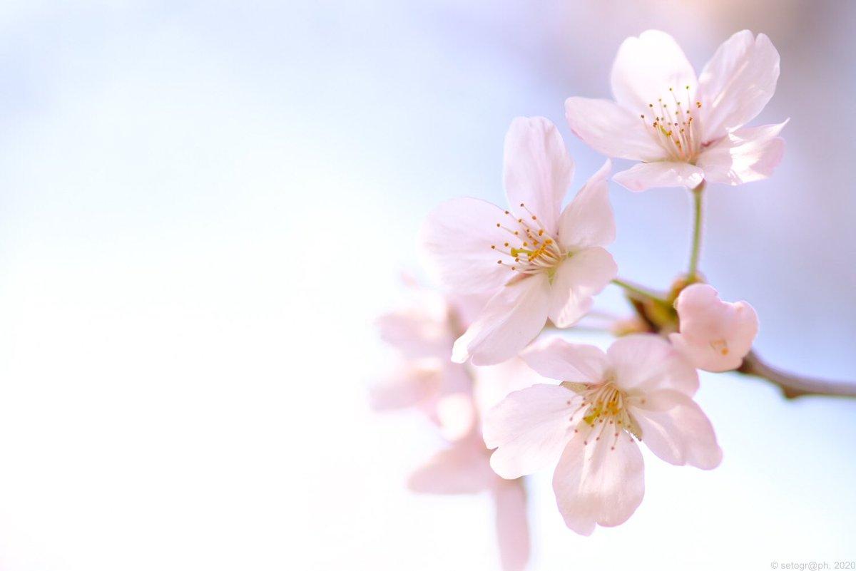 """""""桜花の候""""  #写真で伝えたい私の世界 #ファインダー越しの私の世界 #coregraphy #きりとりせかい #photography #fujifilm_xseries pic.twitter.com/YlB9QLwrcT"""