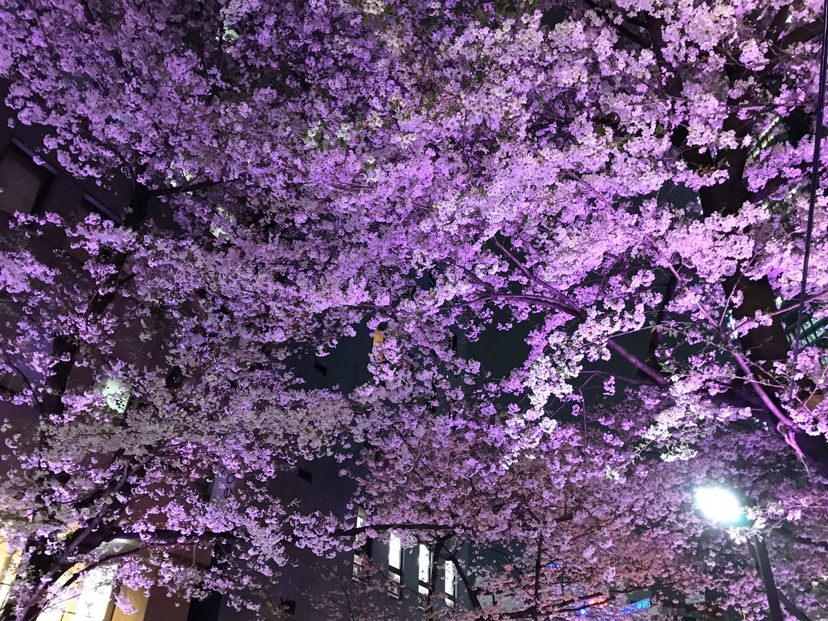 Today's cherry blossoms We have less people today. #Japan  #tokyo  #shibuya pic.twitter.com/nWNc7HqJdT