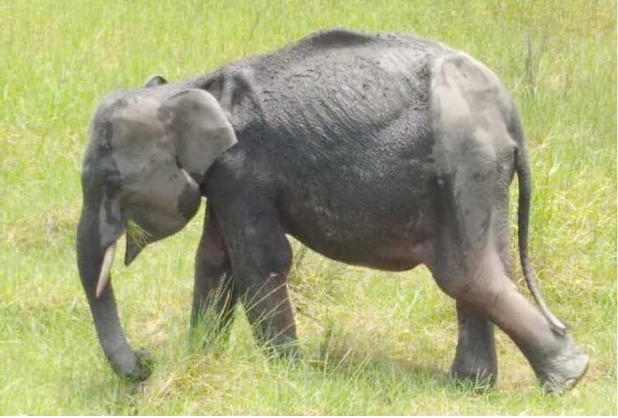 Sumatra Update: Less than 1 month ago one of the Elephant Response Units (ERUs) in Way Kambas, Sumatra spotted a lone male elephant calf, possibly 3-4 years old. Lost to his herd, they followed and monitored him for 3 weeks, hoping his poor condition would improve https://t.co/qTSsNjUaFX