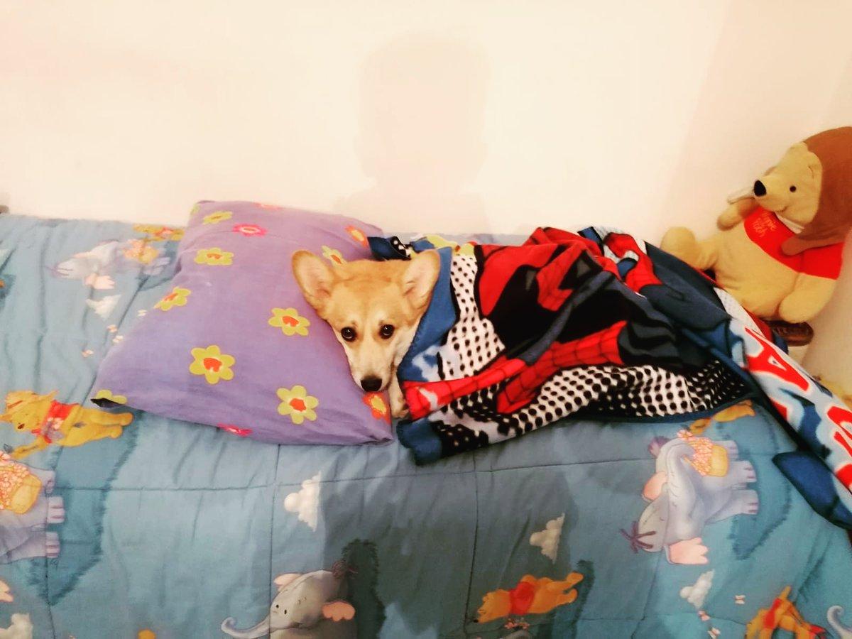 #zelda #corgi #buongiorno #freddo #copertina #labellavita #corgigram #stocomoda #mypillow #puppydog #puppylover #sosweet #socute #sbleppitisblep #corgistyle #corgioftheday