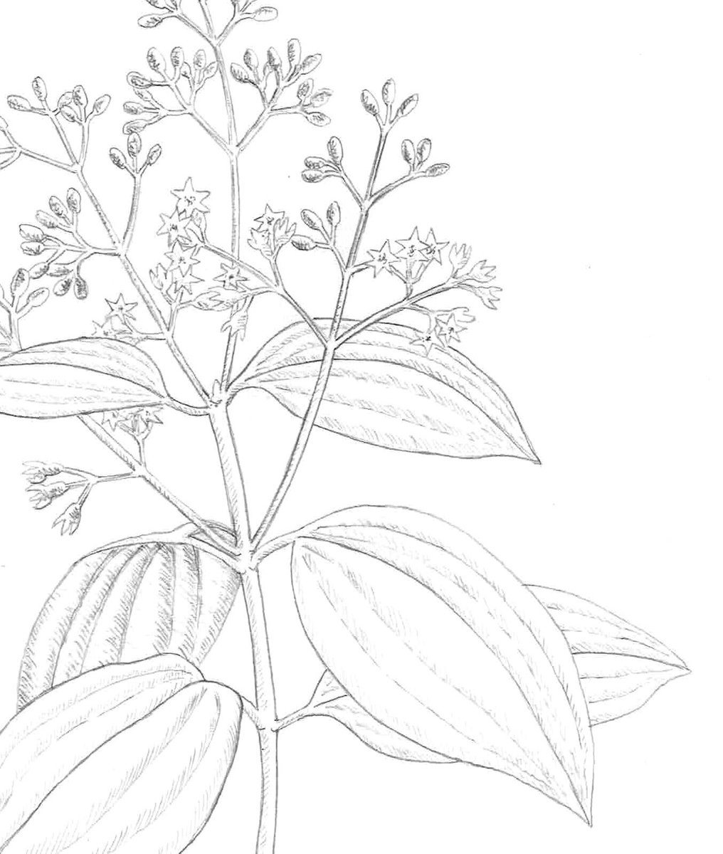 Day 173. Initial sketch of Cinnamomum verum (cinnamon), a new commission I'm working on.  #art #botanical #botanicalillustrator #botanicaldrawing #sketch #realisticdrawing #botanicalartist #cinnamomum #cinnamon #wip #sketch365 #dailydrawing #draweveryday #jennyhaslimeierpic.twitter.com/KwUgih14My