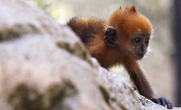 Time for your second clue! This primate lives high in the tree canopy & on limestone cliffs! Can you #GuessTheInfant? #PrimatePlaytime #primatology #primatweeps #scicomm  Daniel Munozpic.twitter.com/tCTLAWB43P