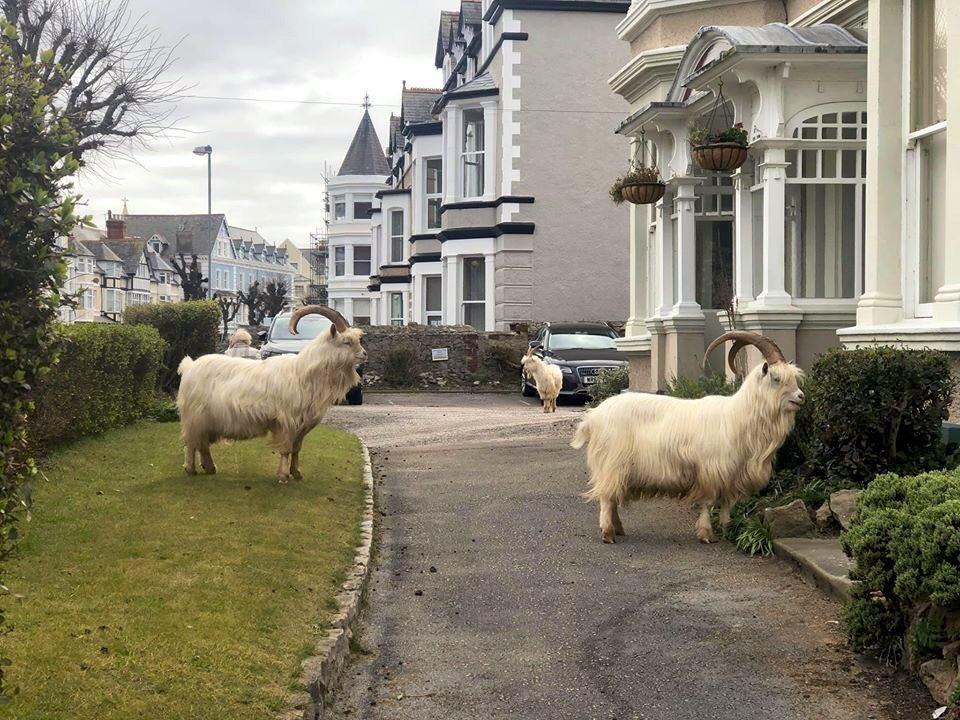 الماعز وهي تتجول بحرية في شوارع ويلز البريطانية .. وكأنما كارونا ينتقم للطبيعة التي عبث فيها الإنسان 🤔  #COVID19 #كورونا_الجديد #فيروس_كورونا https://t.co/GRuYGC9Z0e