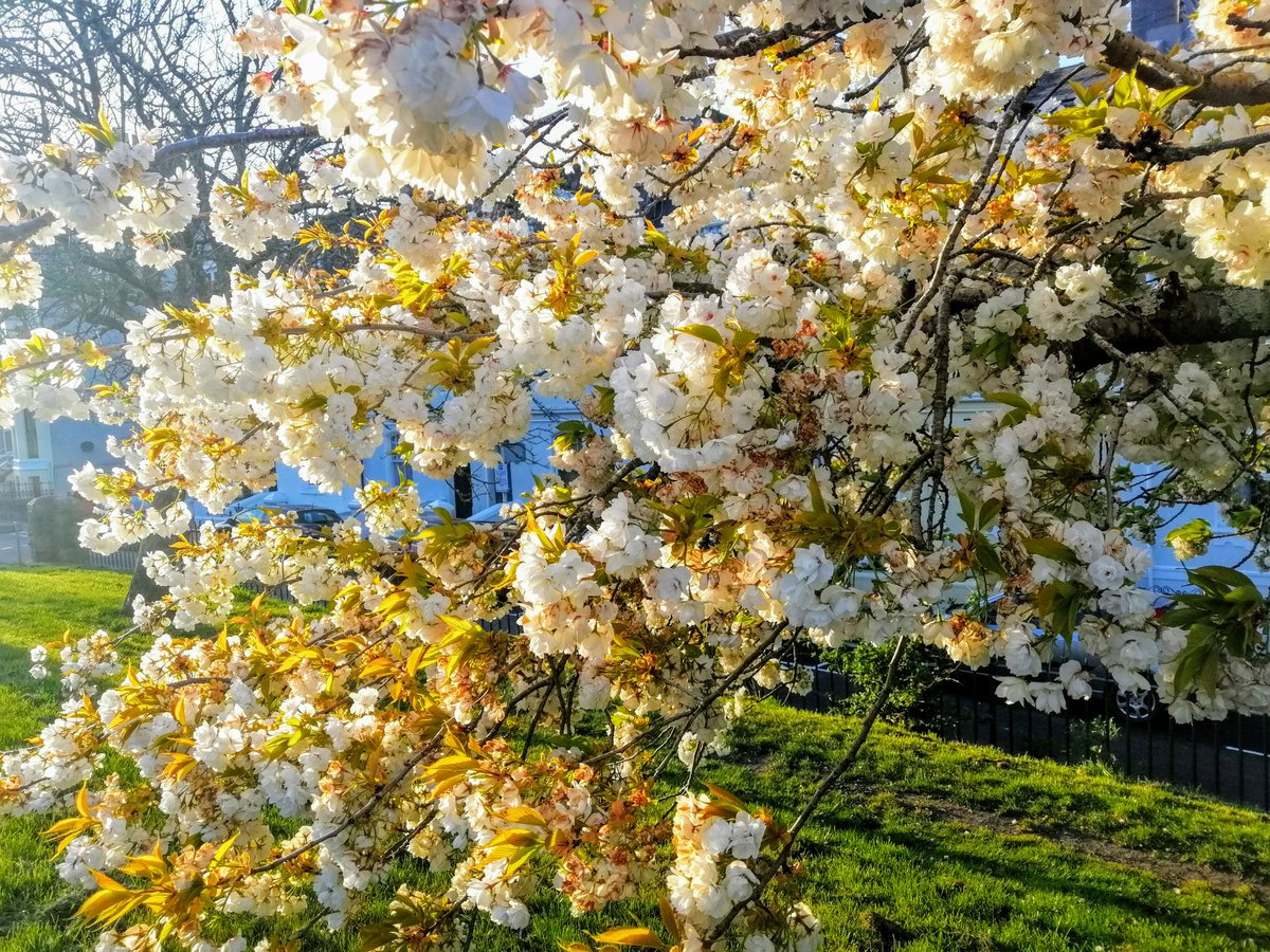 Blossom #blossom #Flowers #beautiful #cherryblossomspic.twitter.com/maY3wRktng