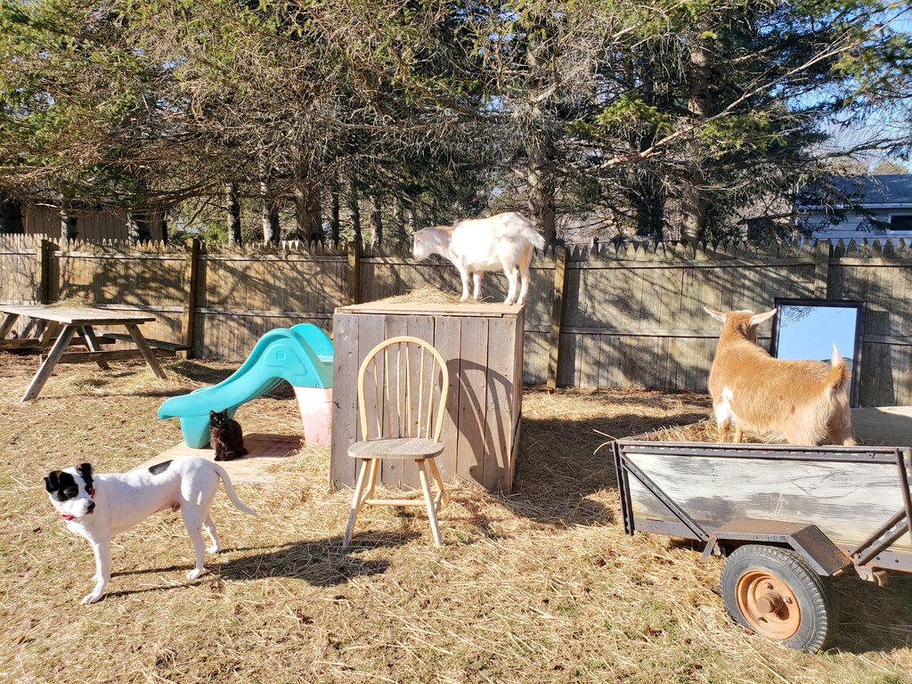 Remember to keep using your #SocialDistance... if the four of us #animals can do it, you can too! #goats #Cat #Dog #COVID19pic.twitter.com/YTji066koq