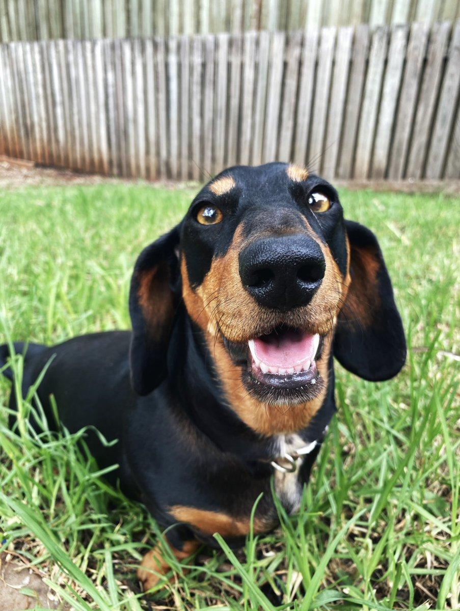 See, I smile sometimes   #SausageArmy #SausageDog #Doxie #Dachshund #Dog #DogsOfTwitterpic.twitter.com/cm3GPvTPMe