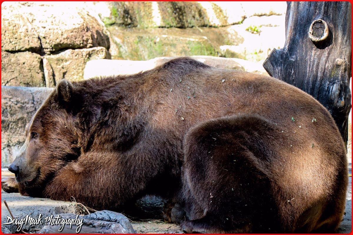 Nap time. #zooanimals #lion #pet #picoftheday #bhfyp #photographer #safari #nikon #cat #beautiful #zoophoto #animallover #d #k #instazoo #like #pets #dierentuin #world #panda #zoopark #giraffe #aquarium #family #fauna #captures #travelphotography #a #australia #indianapoliszoopic.twitter.com/0YklwOb6n9