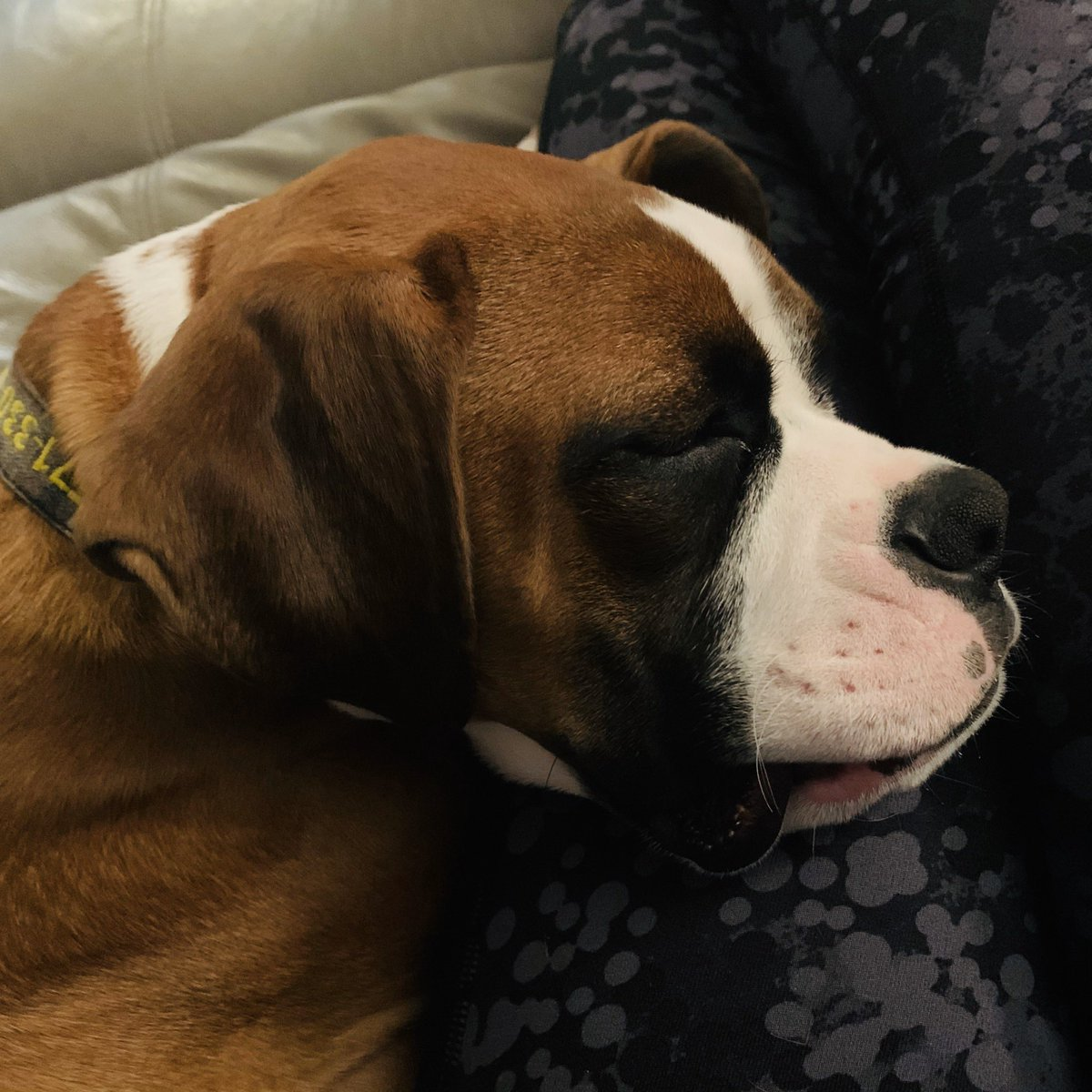 One of the perks of being home....  #boxer #DogLover @GillIadozpic.twitter.com/khoJukeJBI