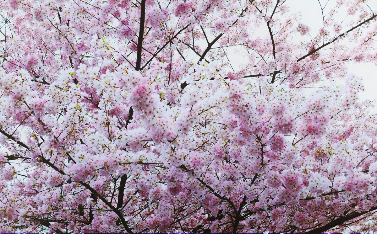 Because we all need a little beauty in our lives  #cherryblossoms #flowers #beauty pic.twitter.com/KsMhMxJcuw