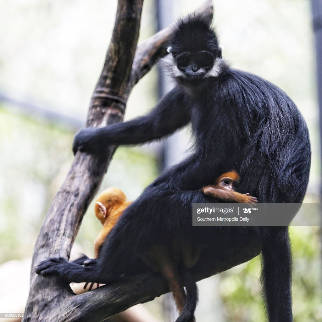 These adorable babies might be born bright orange but they don't stay that way! They gradually acquire the color of their parents as they grow up. Adult Francois langurs are black with distinct white sideburns! #GuessTheInfant #PrimatePlaytime #primatology #primatweeps #scicommpic.twitter.com/jV9e8Nxiz1