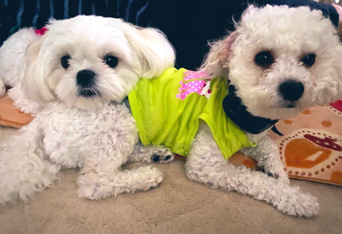 #チワプー のボディに重たい顔を置く #ペキマル #犬好きな人と繋がりたいpic.twitter.com/NEZlBk5hxl