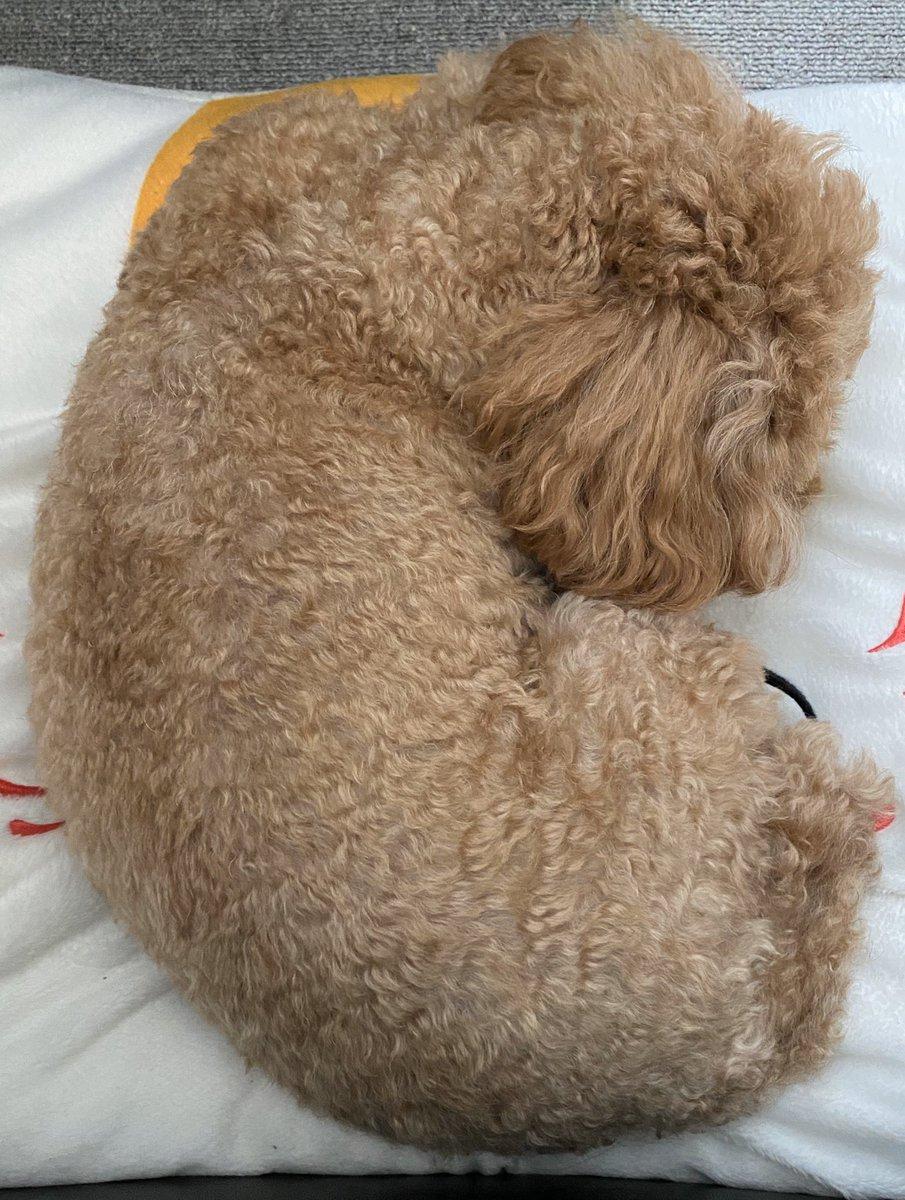 今週は雨曇が多くて 凹むなぁ。我が家のワンコも 暇そう #トイプードル   #犬との暮らし pic.twitter.com/nUuJqvHURP