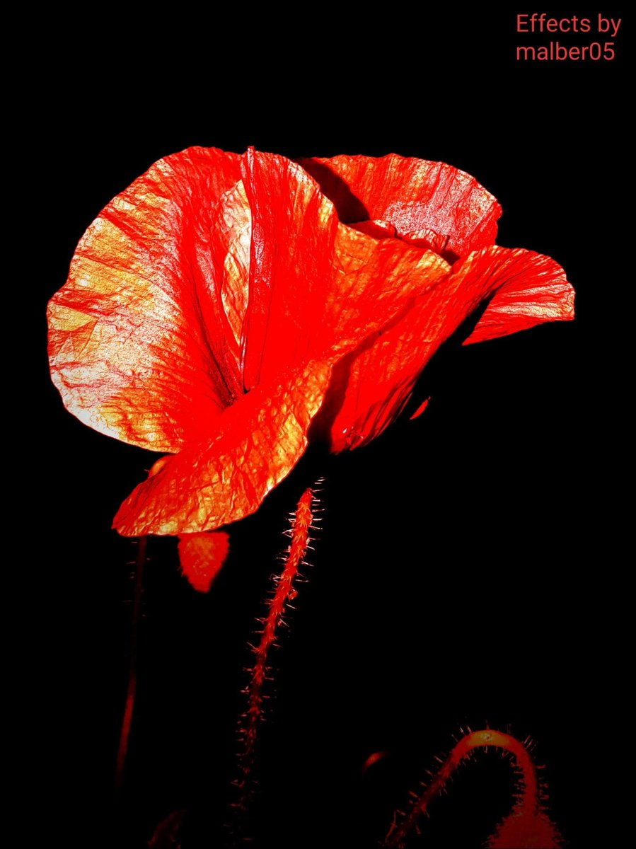 Night photography Poppy -#Flowers #NaturePhotography #Photograpypic.twitter.com/A5XbSlrLVb