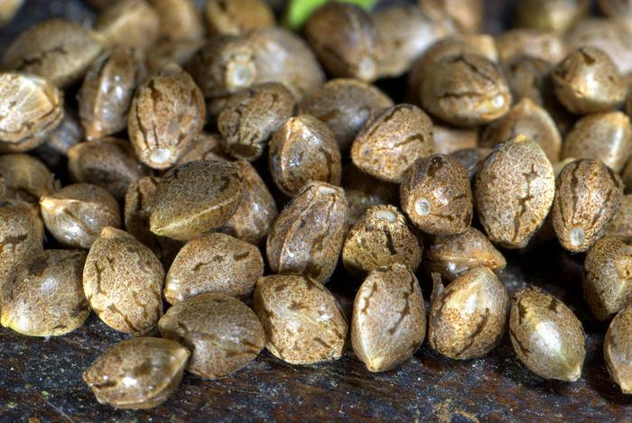 Как заваривать семена конопли марихуана фиолетового цвета