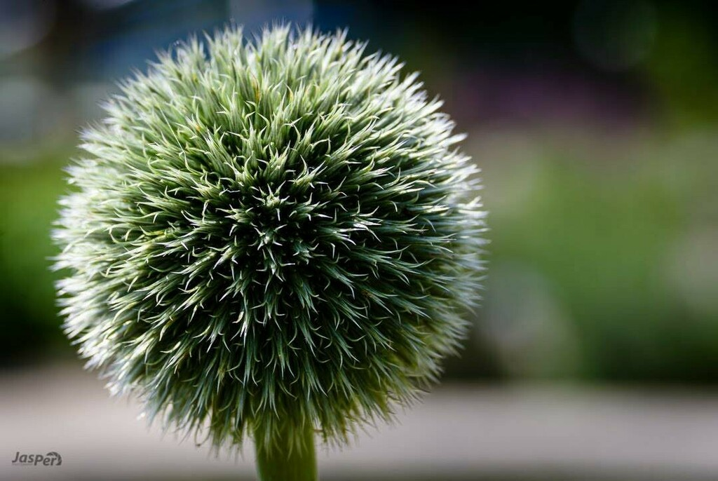 Ball  I actually have no idea what it is.  but photographed at the Hortus Amsterdam  #photooftheday #flowers_super_pics #naturephoto #natureporn #beautiful #flower_igers #bestflowerspics #instanaturelover #naturelovers #spring #macro_highlight #_macroart #fiftyshades_of_macr…pic.twitter.com/fYb1UZd07I