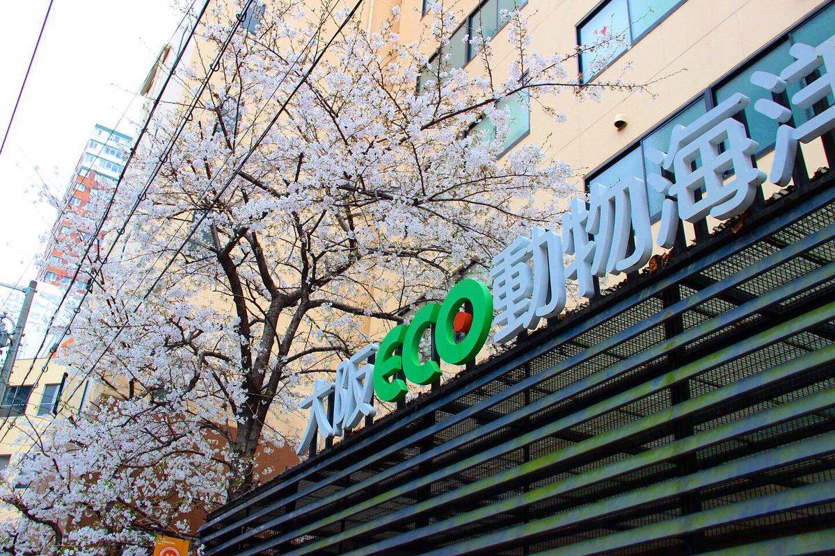本日は、あいにくの雨ですが… 大阪ECOの桜は満開を迎えました #大阪ECO   #専門学校     #動物看護師    #ドッグトレーナー    #ペットトリマー    #ドルフィントレーナー    #動物飼育    #アクアリスト   #桜pic.twitter.com/NxkfMGmUfq