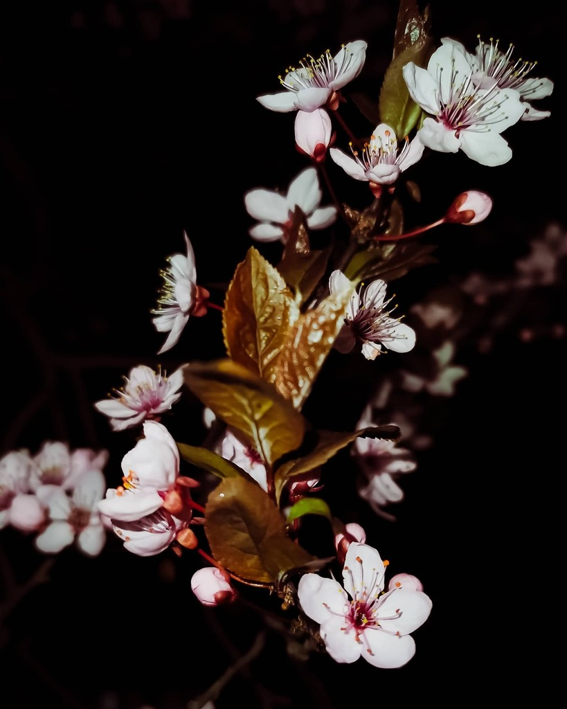 When you only go out at night  . . . #sakurablossom  #sakura  #sakuraflower  #sakurabloom  #sakura2020  #sakuratree  #sakuraseason  #sakura #night #nightphoto  #nightimages  #night_shooterz  #nightshoot  #nightlight  #nightcity #naturopath  #nature… https://instagr.am/p/B-bu764Jf6l/pic.twitter.com/2Ri18hCwN4