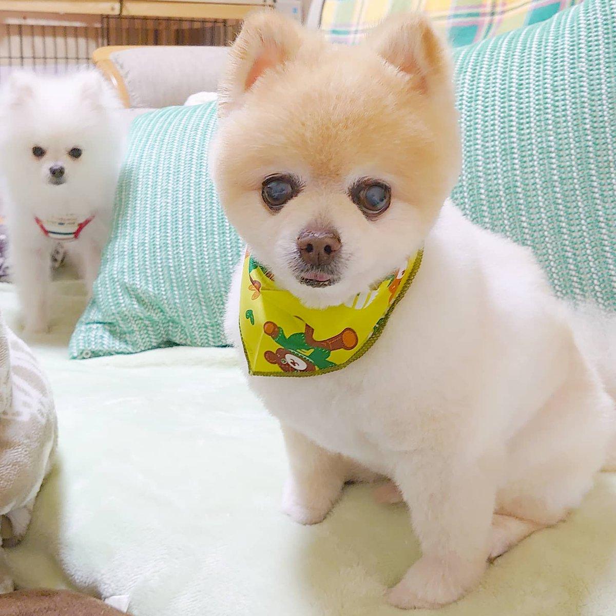 ☆トリミングしてきたっす! 暖かくなってきたので短めに カットしてもらったっすよ! スッキリ✧(๑•̀ω •́๑)b    (•ω•。)ジー  #ポメ #ポメラニアン #pomeranian #wanko #かわいい #moko #ichi #福島 #ふくしま #fukushima #日本 #japan #トリミング #豆柴カットのポメラニアンpic.twitter.com/rsvmT0EWNJ