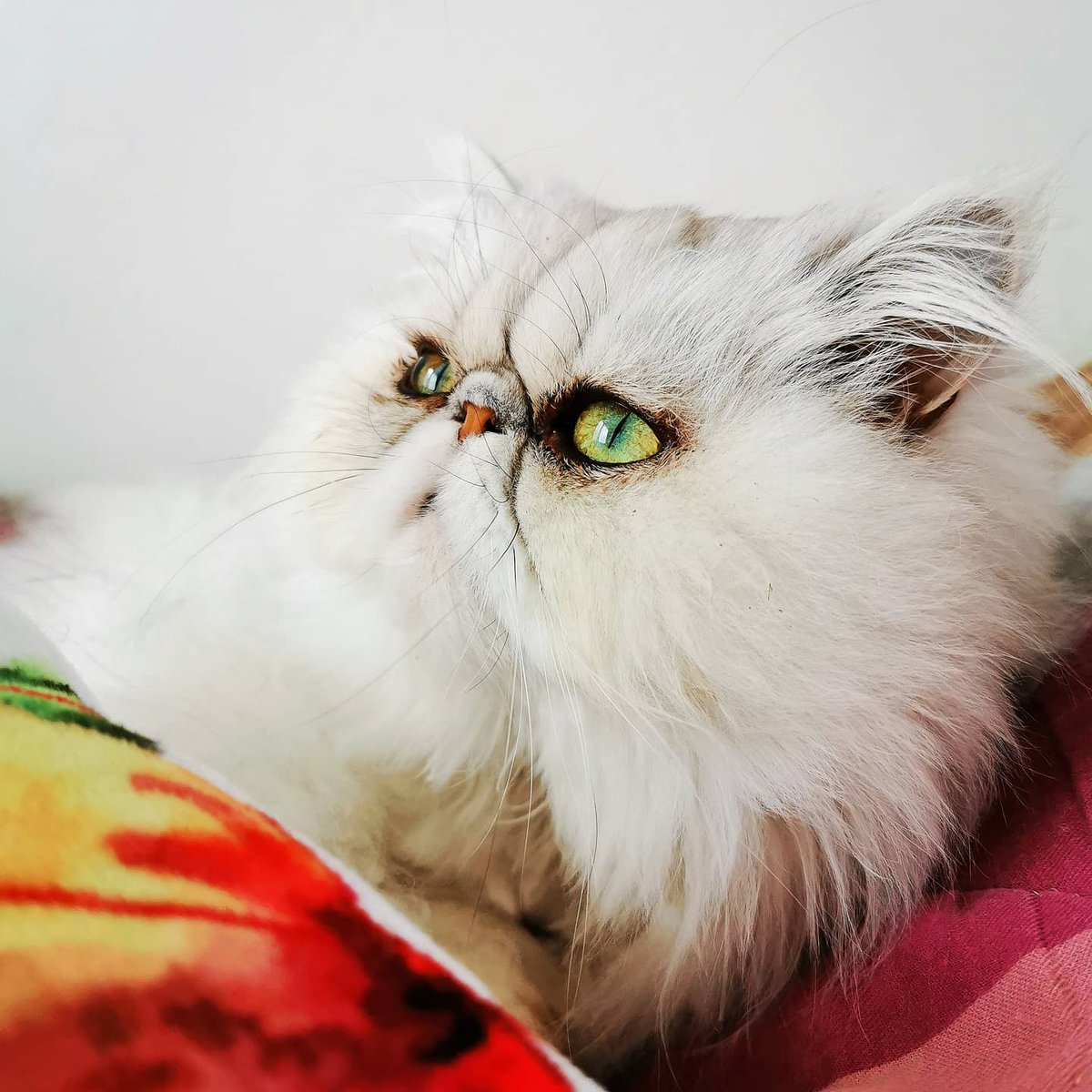 my Lycy #catsofinstagram #persiancat #persian #instacat #greeneyes #besitiful #silvershade #pinknose #fluffy #fluffyfur #happycat #mylife #mylove #mybaby #mylife #love  #beautifuleyes #beautifulbaby #white #whitecat #crazycatlady #mycatisbetterthanyours #ねこちゃん #ねこ #愛pic.twitter.com/02Vo3qPOzK