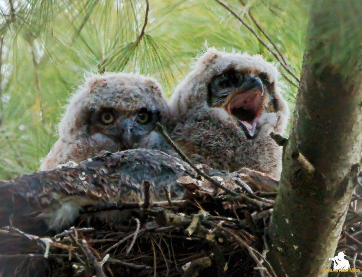 Two baby Great Horned Owls. One seems to be a bit tired.#birdphotography #bird_captures #yourshotphotographer #best_birds_of_ig #birds_nature #nuts_about_birds #your_best_birds #birdwatching #eye_spy_birds #birdselite #planetbirds #greathornedowl #elite_raptors #elite_owlspic.twitter.com/aYlWVy8k0Q