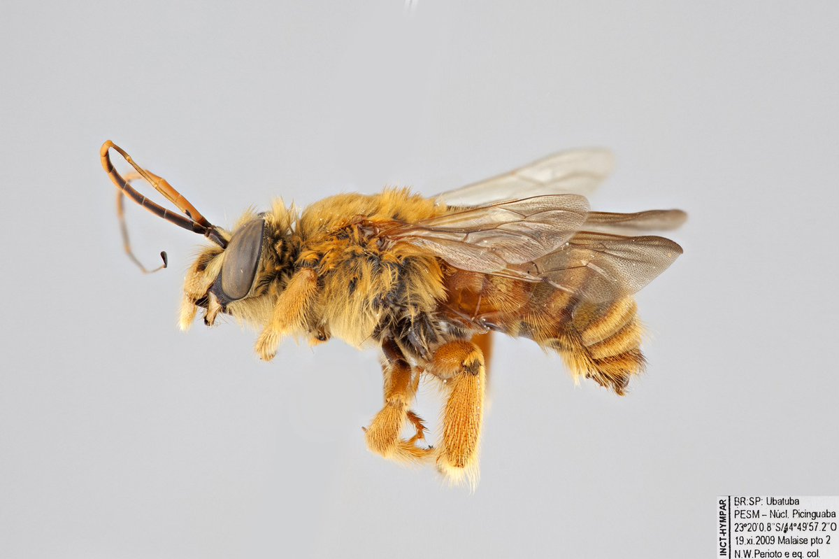 #WeirdWednesday: Dithygater seabrai (Apidae). In the second picture, you can see the last few flagellomeres are very elongated and flattened - true only for the males of this species. These bees are found in #Brazil. #beeoftheday #WednesdayWisdompic.twitter.com/nhxKKjJPbQ
