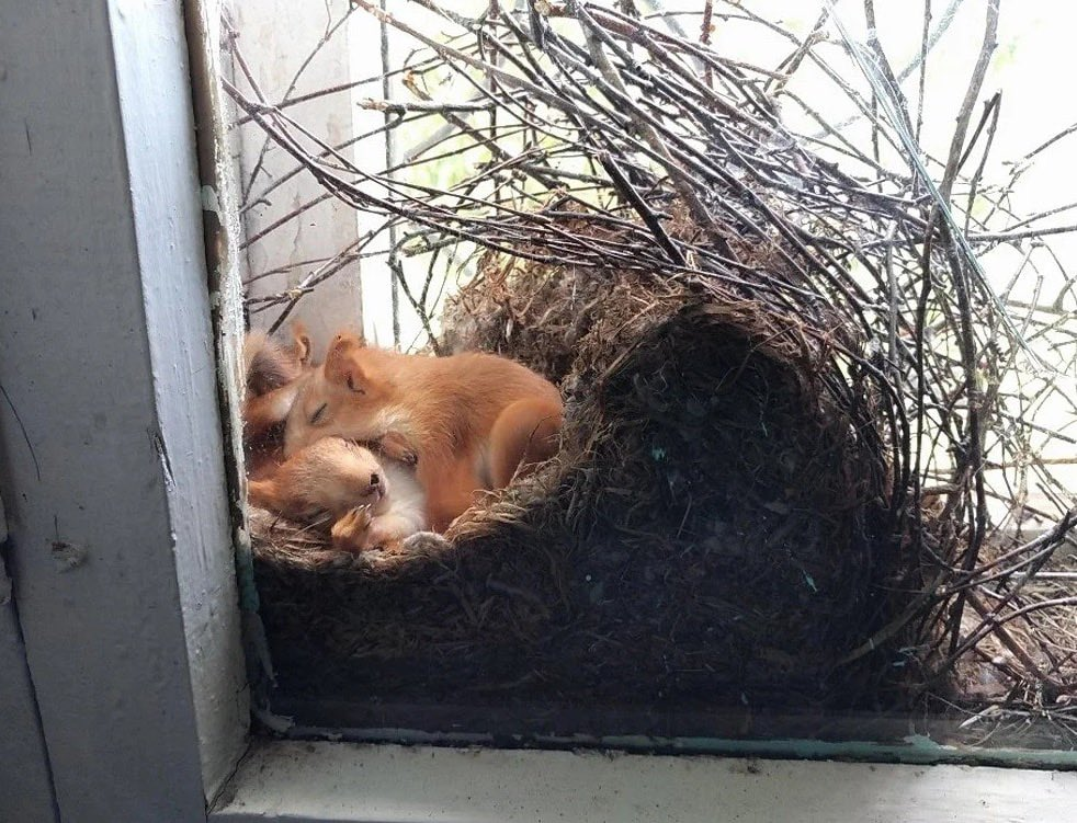 Imagine a squirrel making a nest at your window and being able to watch them sleep and grow 🥺
