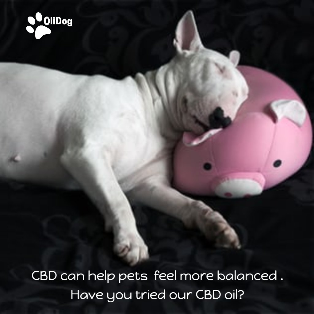 #CBD can help pets  feel more balanced . Have you tried our #CBDoil? http://olidogpetwellness.ca/ Order yours Here #terriermix #terriers #terrierlove #terrierlife #terrier #terriersofinstagram #terriers #terriermix #jackrussell #jrt #westie #jackrussellterrier #foxterrier #Dogs #K9pic.twitter.com/Sg2srqpVy8