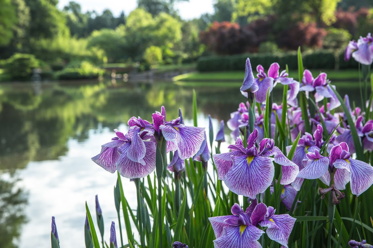Sachs Museum At Missouri Botanical Garden On Twitter Thegardenin100objects Japanese Water Iris Surround The Yatsuhashi Bridge Mobotgarden And Are An Integral Feature To These Bridges Learn More At Our Plant Finder Mobottoyou