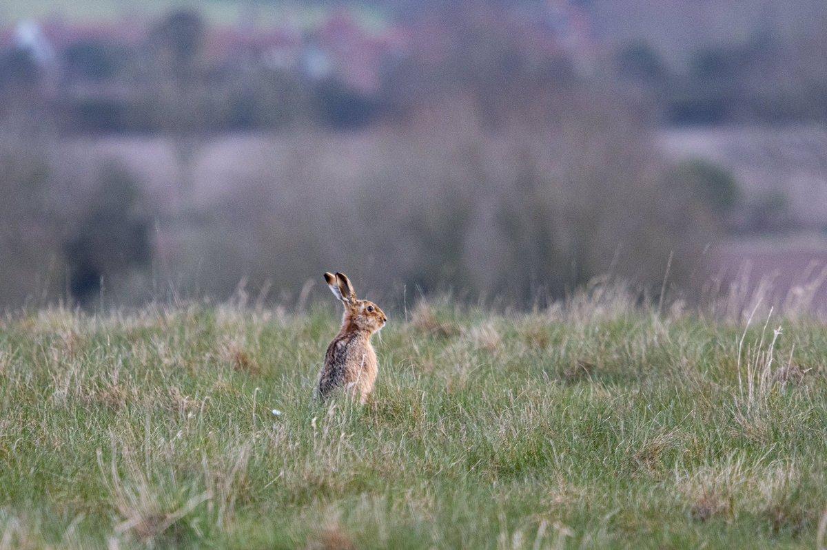 Surveying the landscape... #brownhare #hare #norfolk #countryside #springwatch #BBCWildlifePOTD #wildlifephotography #NaturePhotography pic.twitter.com/zPTF4oEHkB