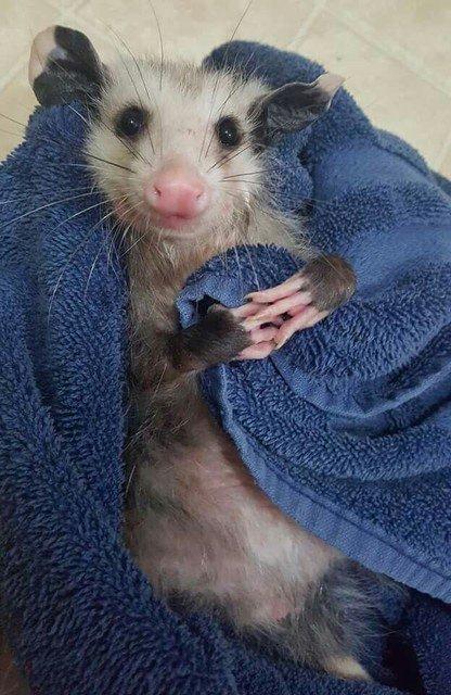 Possum Every Hour (@PossumEveryHour) on Twitter photo 01/04/2020 22:08:44