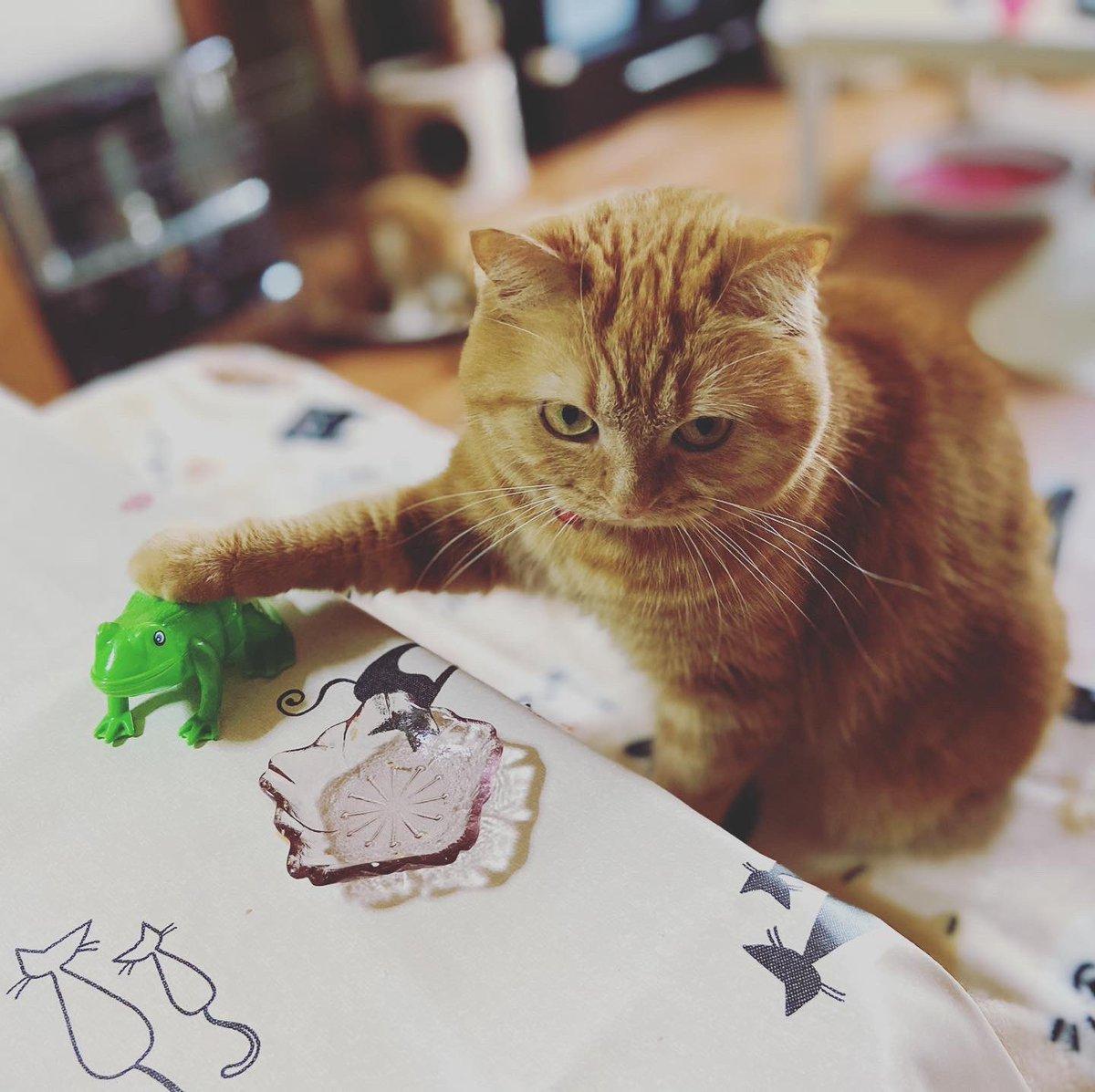 カエルを捕まえたよ  #catstagram #kitten #instacat #catwalk #kittycat #instagramnet #catsagram #cathedral #catsofinstagram #catvalentine #catlover #かわいい猫 #猫スタグラム #猫好きさんと繋がりたい #猫動画 #インスタ猫 #おもしろい猫 #スコティッシュフォールド #ScottishFoldpic.twitter.com/yfuywDA44y
