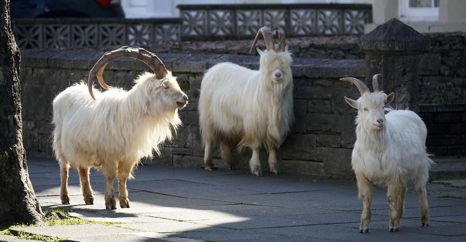 Wild Goats Roam Through an Empty Welsh Town  https://www.theatlantic.com/photo/2020/03/photos-llandudno-goats/609160/?utm_source=feed  … #USnews  #USRC