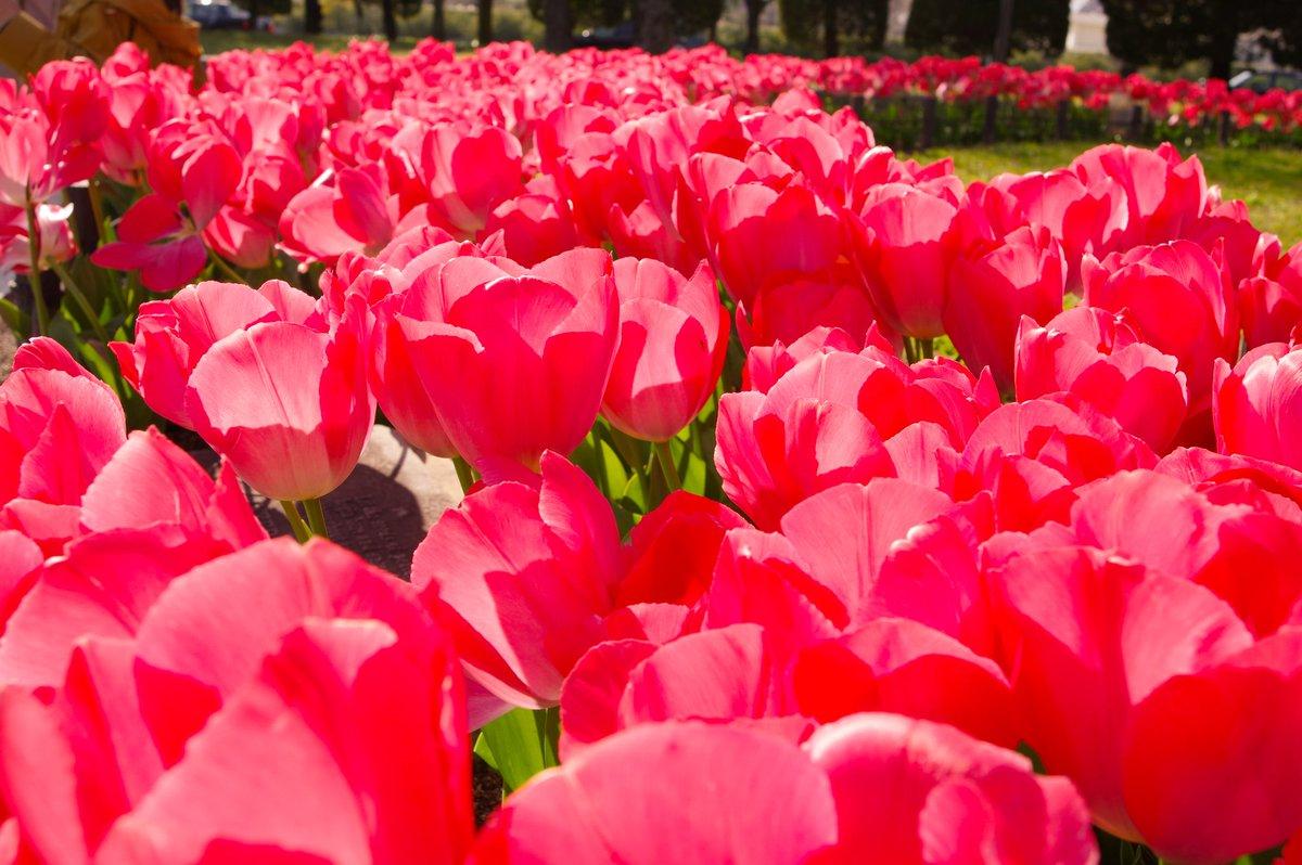 Tulips    True love  #PENTAX pic.twitter.com/N7TMEBQu5L