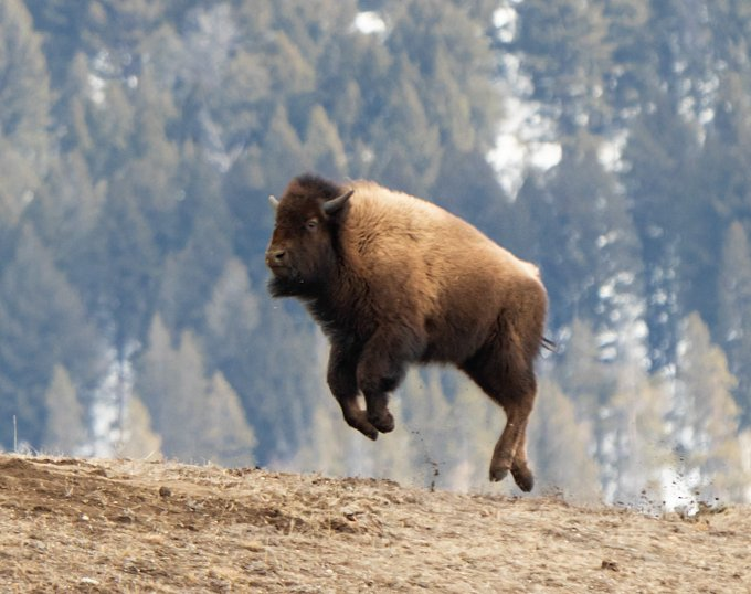 A shaggy brown bison leaps into the air above a muddy hillside.