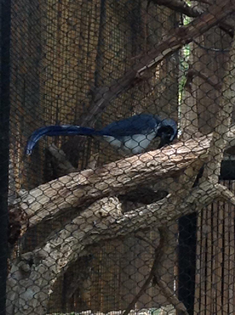 A gorgeous Black-Throated Magpie Jay @PhoenixZoo   #BlackThroatedMagpieJay #Magpie #Bird #Birds #Ornithology #PhoenixZoo #Zoo #Zoology #Biology #Birding #Birdwatching #Science #Scicomm #Animal #Animalspic.twitter.com/NrwO5ySr7W