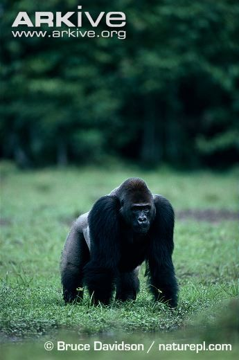 AND NOW, the CHAMPIONSHIP BATTLE: BROWN HYENA vs. GORILLA!!! #2020MMM