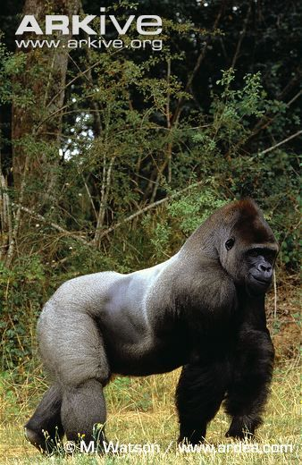 Gorilla defeated the nematode, wolverine, cobra, sawfish & gopher tortoise #2020MMM