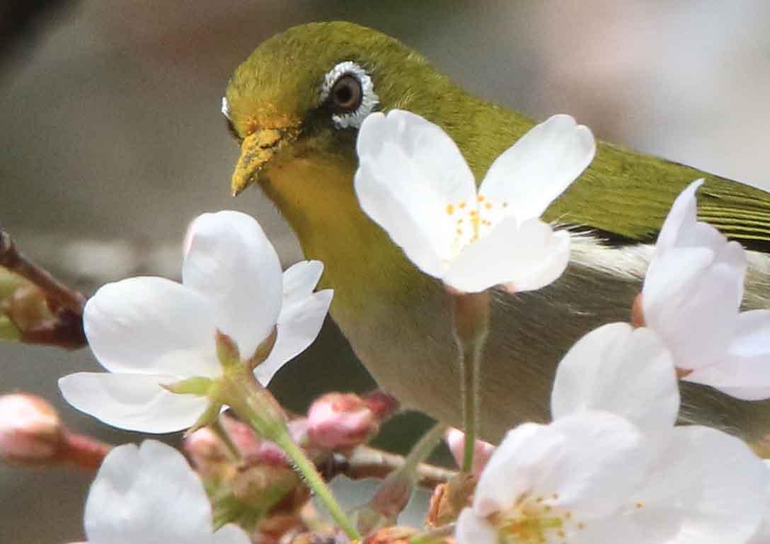 桜の枝にやって来たメジロ。花粉で嘴が黄色くなっています(◉Θ◉)