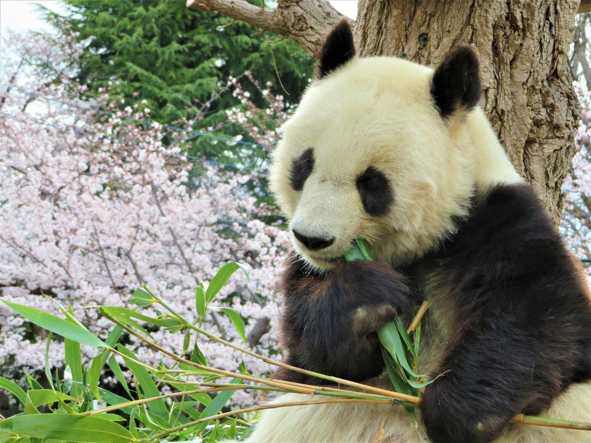 春ですね。タンタンと桜のコラボレーションをお届けします🌸#きょうのタンタン #ジャイアントパンダ #タンタン#神戸市 #王子動物園