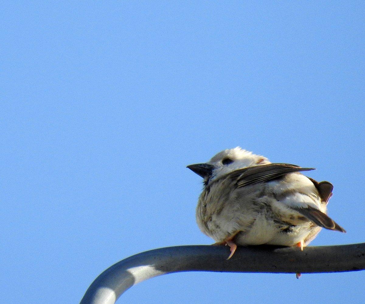 ご近所の鳥さん。なんと #白いスズメ です。初めて見ました。#白雀 は相当な瑞祥の鳥らしいですね。聖武天皇や桓武天皇に献じられた記録もあるとか。これで世の中の雰囲気、少しでも変わってくれるといいんだけどな~。4/2 6:57撮影。#野鳥 #スズメ #NIKON #P900