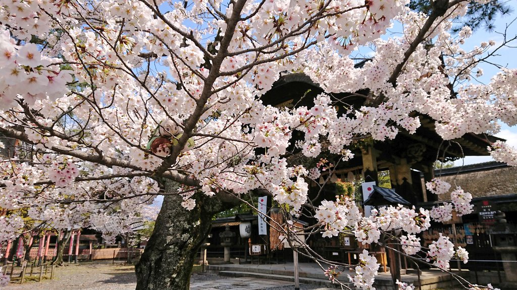 国宝唐門前の桜、鳥居前の桜共に満開になりました。まさに今が見頃なので、皆様にお裾分けです🌸