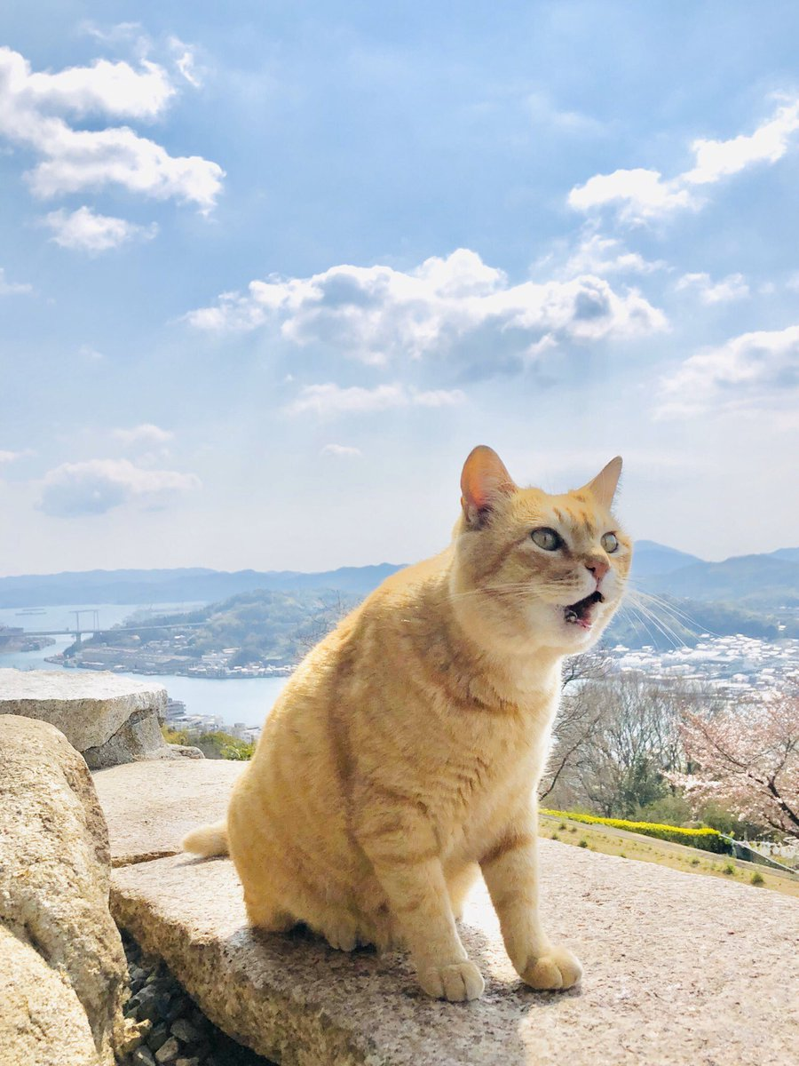 Memories 442『ニャー!😺mew! 』(2019/ 4/ 2) ちょうど1年前。目の前の何かではなく、ただ泣きたかったのかニャ。#尾道 #千光寺公園 #尾道市立美術館 #茶トラ #cat