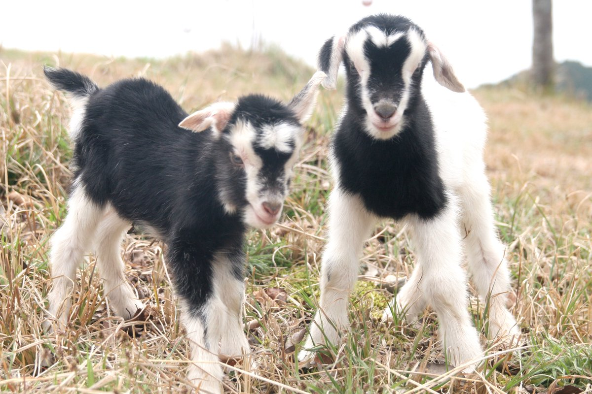3月29日にもう2頭ヤギの赤ちゃんが誕生しました!昨年の黒ヤギ「ヨシノ」と同じお父さん、お母さんで今回はお面をかぶっているような…何とも言えない模様の赤ちゃん(^_^;)これからの成長が楽しみです♪