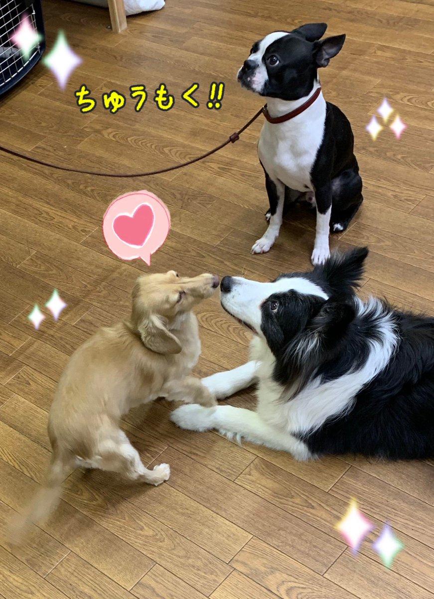 スタッフ犬とじゃれたり、まったりしています! 「まて」の練習を頑張りました  #しつけ教室 #犬の幼稚園 #ドッグトレーナー #ドッグスクール #中野区 #ボストンテリア #ポメラニアン #MIX #柴犬 #まて #ミニチュアダックス #フリーpic.twitter.com/FVj7sF3Edt